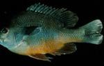 Lepomis megalotis - Longear Sunfish