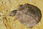 Elseya latisternum