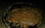 Phrynops g. geoffroanus