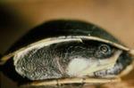 Phrynops n. nasutus