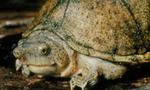 Kinosternon carinatum
