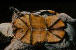Kinosternon flavescens