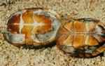 Kinosternon odoratum