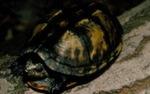 Kinosternon scarpioides cruentatum