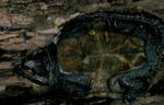 Platysternon m. megacephalum