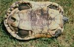 Geoclemys hamiltonii