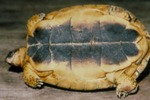 Rhinoclemmys areolata