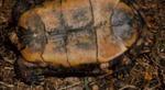 Rhinoclemmys pulcherrima rogerbarbouri