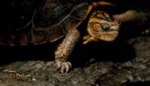 Rhinoclemmys rubida perixantha