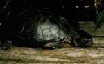 Siebenrockiella crassicollis