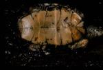 Clemmys marmorata