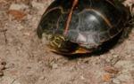 Chrysemys picta dorsalis