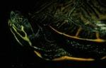 Pseudemys c. hieroglyphica