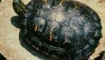 Pseudemys c. texana
