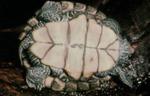 Graptemys pseudogeographica