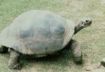 Geochelone elephantopsus