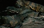 Agkistrodon piscivorus leucostoma by Roger W. Barbour