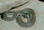 Clonophis kirtlandii