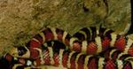Lampropeltis pyromelana