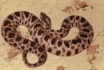 Sistrurus catenatus