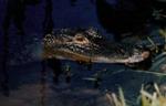 Alligator mississippienis