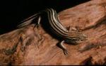 Eumeces septentrionalis