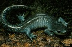 Ambystoma jeffersonianum by Roger W. Barbour