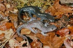 Ambystoma platineum by Roger W. Barbour