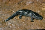 Ambystoma talpoideum by Roger W. Barbour