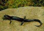 Desmognathus imitator