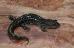 Desmognathus welteri