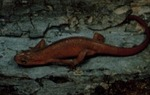 Diemictytus viridescens