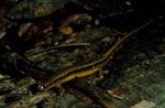 Eurycea bislineata