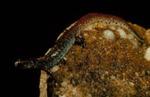 Hemidactylium scutatum
