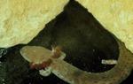 Necturus maculosis