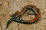 Plethodon cinereus
