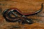 Plethodon dorsalis