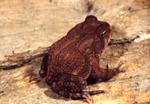 Bufo a. americanus