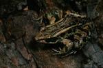 Rana palustris