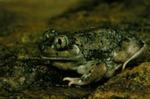 Scaphiopus couchii