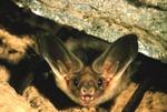 Antrozous pallidus - Pallid Bat