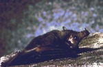 Choeronycteris mexicana - Mexican Long-tongued Bat