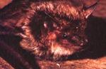 Eptesicus fuscus - Big Brown Bat