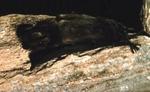 Eumops perotis