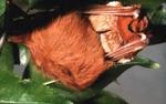 Lasiurus borealis - Red Bat