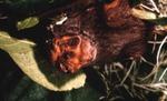 Lasiurus seminolus - Seminole Bat