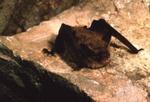 Myotis auriculus - Southwestern Myotis