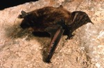 Myotis fortidens