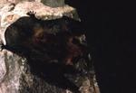 Myotis thysanodes