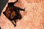 Myotis volans